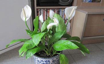 卫生间之中的室内盆栽一般选择能耐阴
