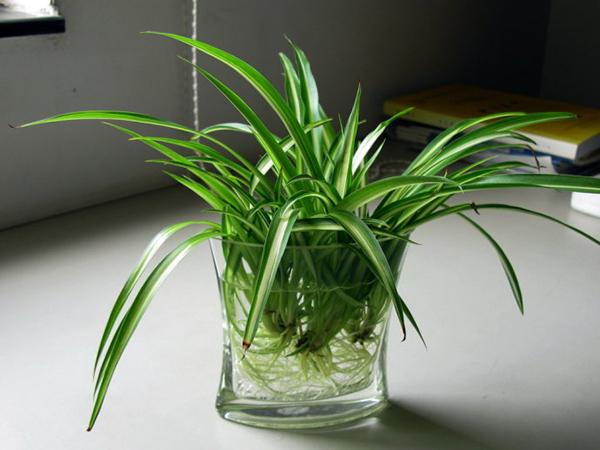 去除甲醛好帮手,水养植物来帮忙
