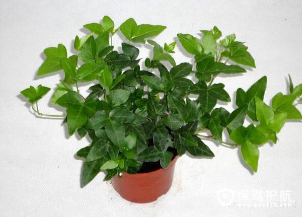 哪些植物吸甲醛 最有效吸甲醛植物