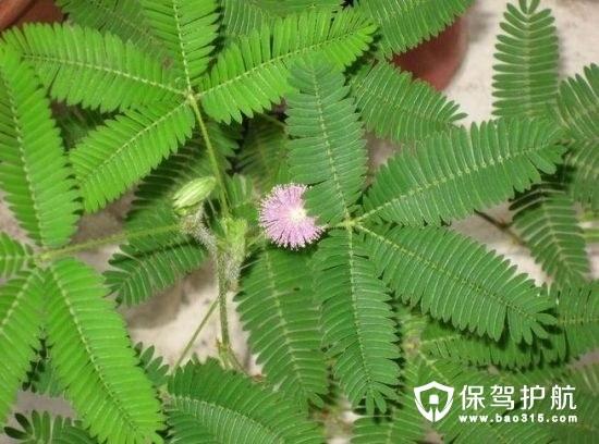 含羞草会开花吗?含羞草的作用有哪些?