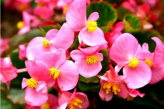 四季海棠花