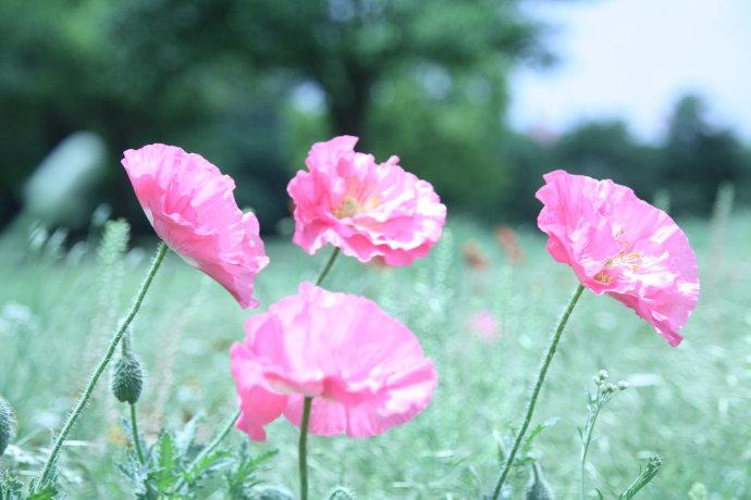 小种罂粟花