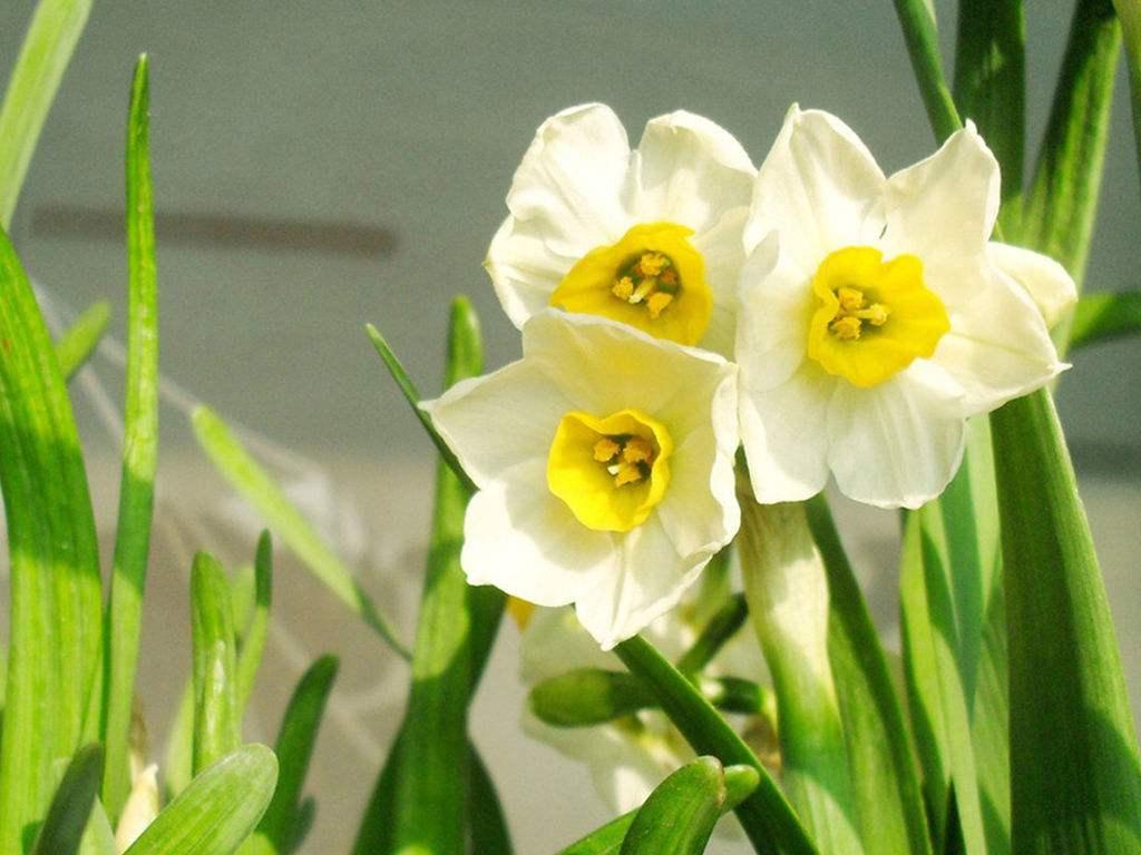 家居风水中水仙花有哪些作用
