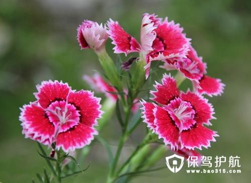 石竹花花语和象征的意义