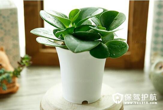 植物碧玉花防辐射吗 碧玉花的养殖方法