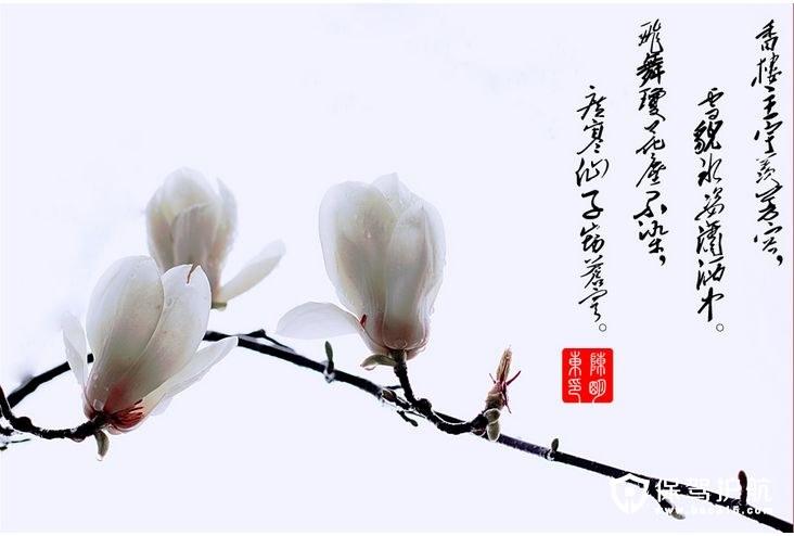 玉兰花的花语和赠送的含义