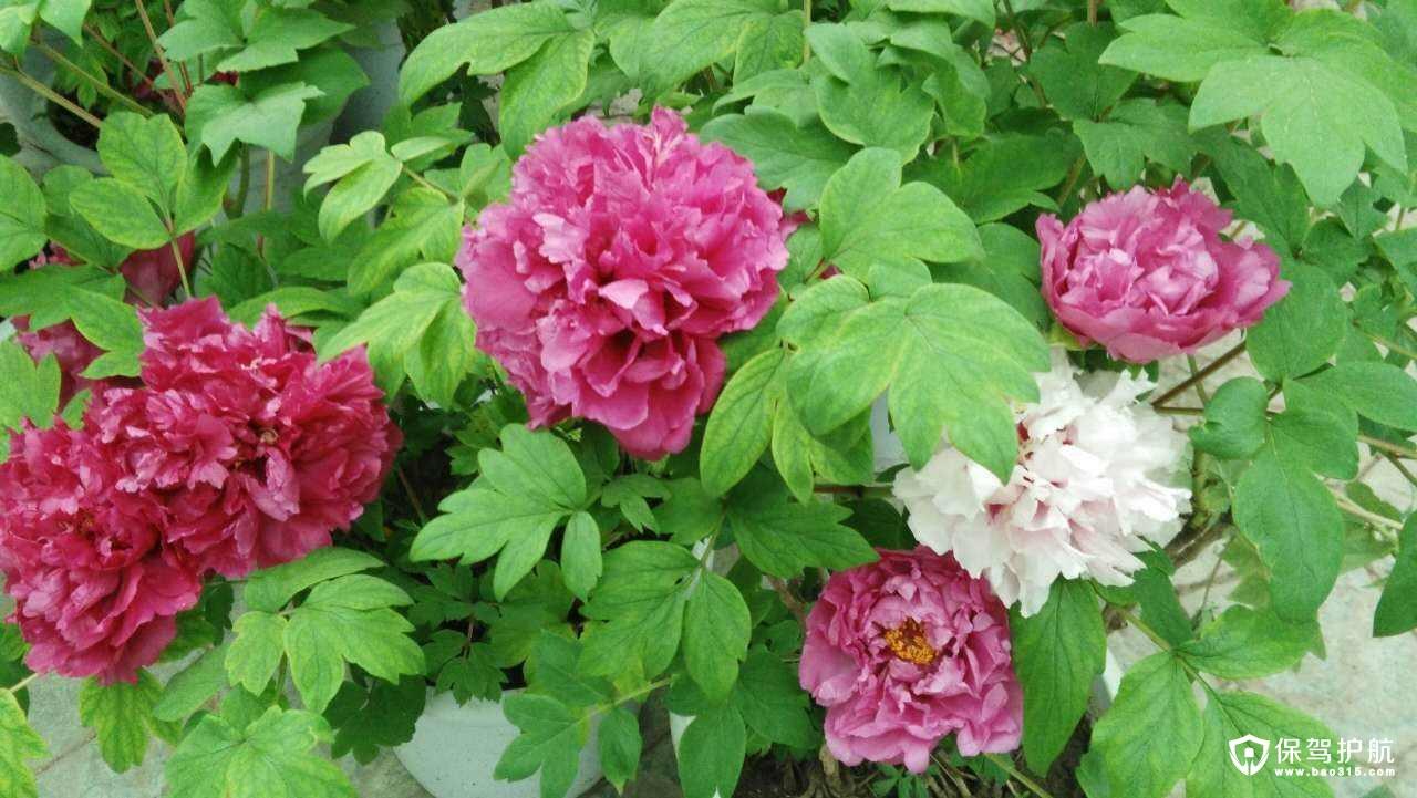芍药花与牡丹的区别以及芍药花期