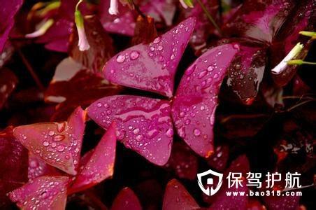 三角紫叶酢浆草是什么 三角紫叶酢浆草养殖方法