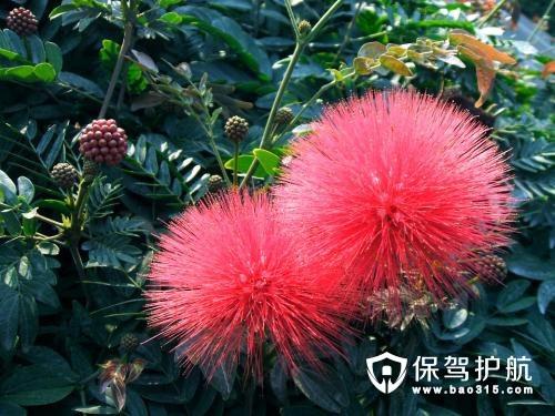 合欢花产地详细介绍,合欢花怎么养