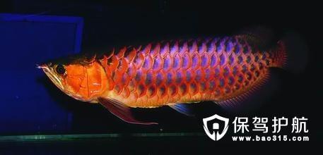 龙吐珠鱼是什么 龙吐珠鱼多少钱