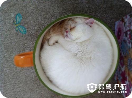 茶杯猫多少钱一只,它的寿命多长?