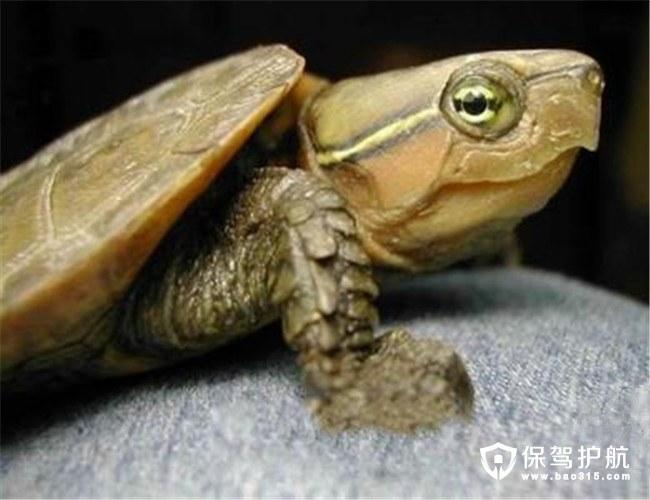 鹰嘴龟价格及图片