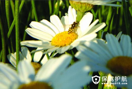 除虫菊的种植方法与除虫菊图片分享