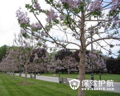 泡桐树的功能用途,竟然可以治青春痘?