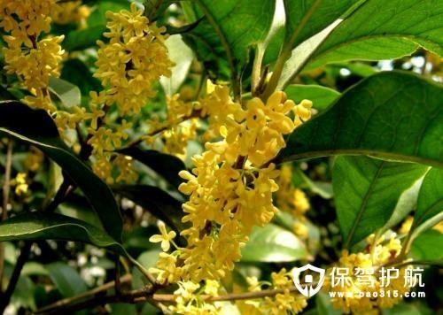 四季桂花栽培技术