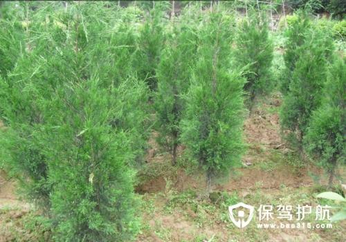 松柏树的生长环境和主要价值