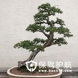 榆树盆景养护方法