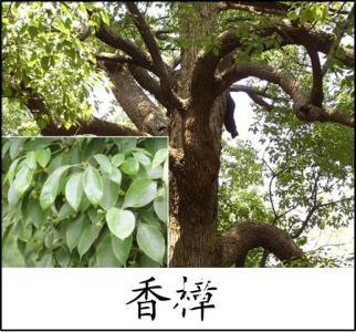 香樟树图片及其种植方法