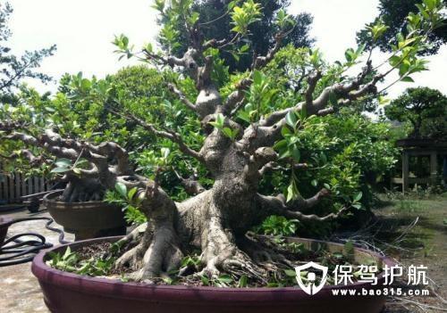 榕树图片及其种植方法