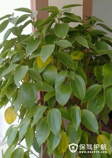 平安树叶子发黄原因及其解决办法