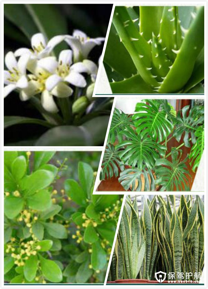 虎尾兰芦荟等植物