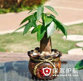 一般招财树的养殖方法里,换盆的次数应该在春季,并且修剪枝叶