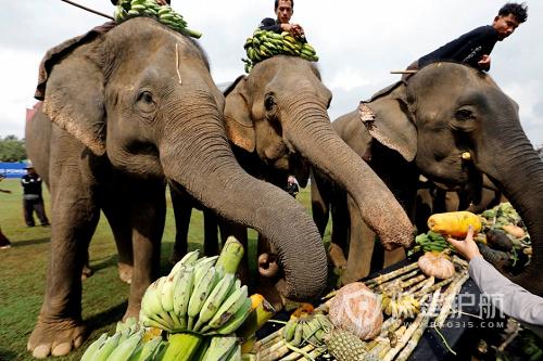 泰国10年来首次解禁大象出口 1万7千人联名请愿反对
