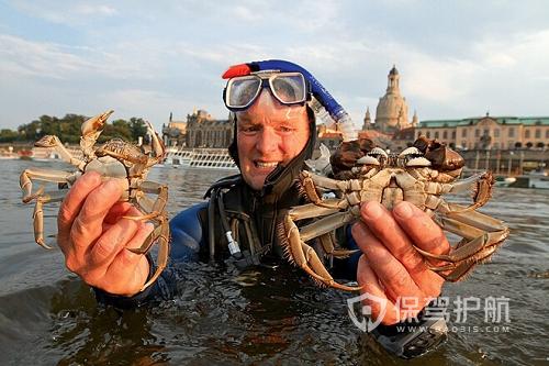 """比利时大闸蟹泛滥 对水路系统造成了""""严重破坏"""""""