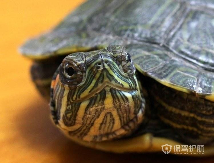 乌龟养死的风水说法-保驾护航
