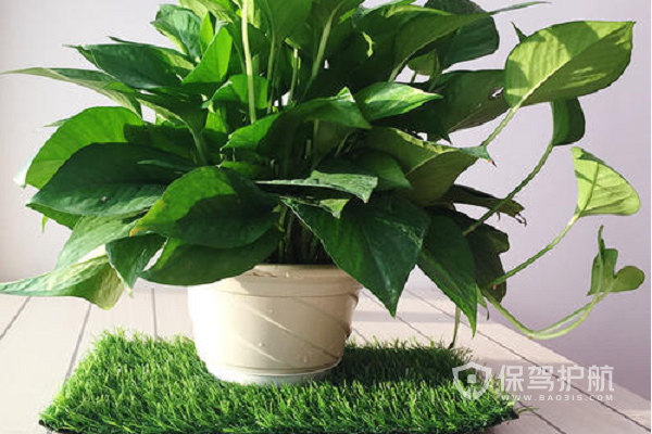 什么植物吸收甲醛效果好?吸甲醛的植物推荐